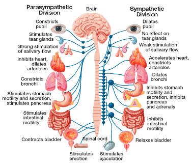 Cd Fdf on Human Endocrine System Diagram