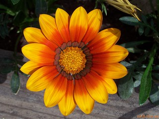 one more gazania | by Little Grey