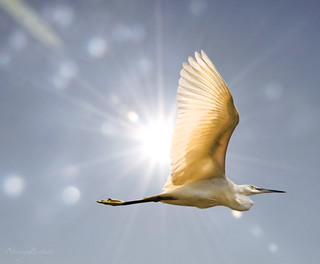 The Egret And The Sun | by Tomasito.!