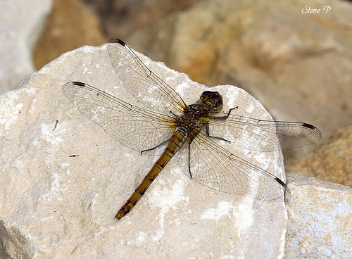 Dragonfly on rock | by SteveP!