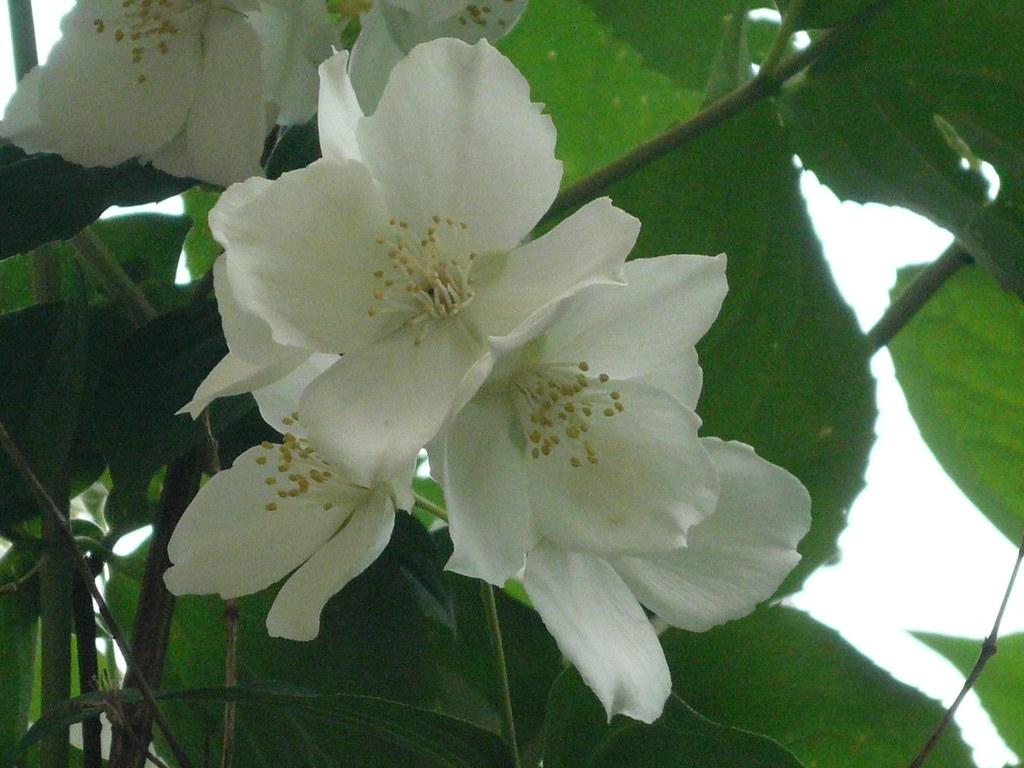 fleurs de seringats - le jasmin des poètes est un arbuste … | flickr