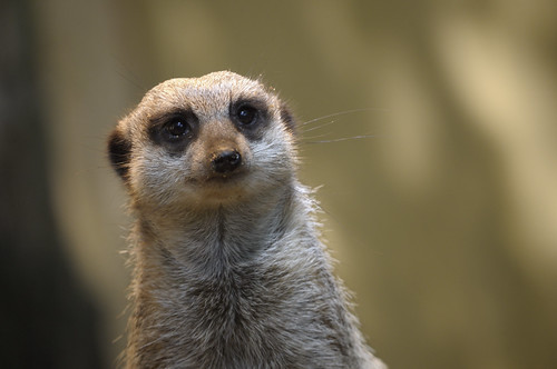 Meerkat looking back | by SjurWarEagle
