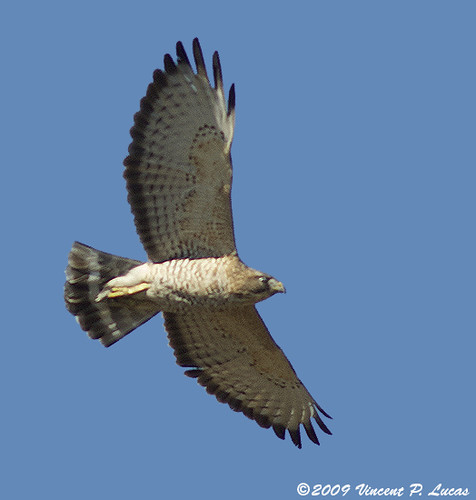Broad-winged Hawk #1 | by leppyone