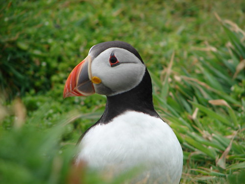 Puffin | by Sarah and Iain