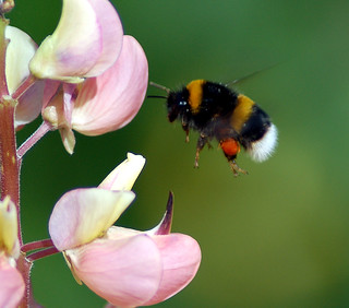 The Flight Of  The Bumble Bee | by Roger's Photos59