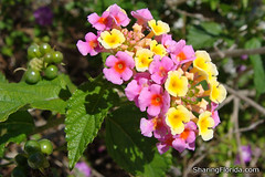 Florida Small Pink and Yellow Flowers | by sharingflorida