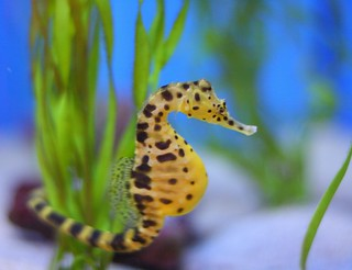 Another Pot-Bellied Sea Horse | by San Diego Shooter