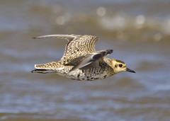 Pacific Golden Plover | by ghutcho