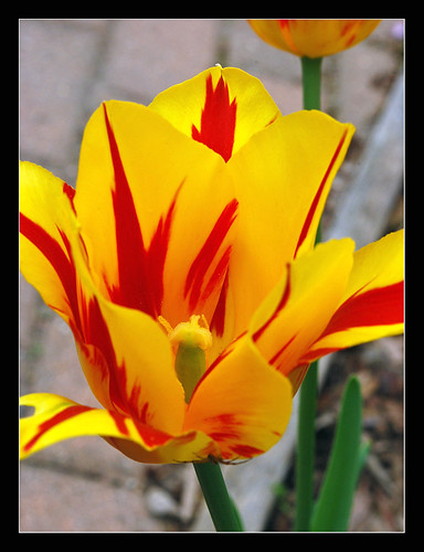 My striped tulip | by sjb4photos