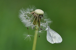 Wood White resting on a Dandelion head. | by Tim Melling