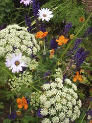 Geum Prinses juliana, Ligusticum lucidum, Salvia and Osteospermum | by James's GW Blog