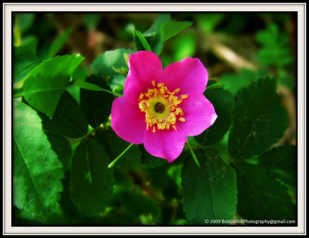 Wild Rose Alberta The Wild Rose Provincial Flower Of Albe Flickr