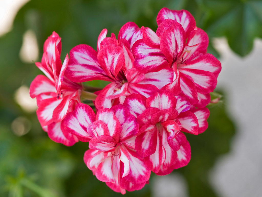 Sweet William Flowers In Red And White Copyright Daniel Flickr