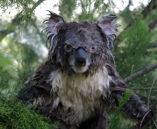 Wet Koala 3 | by Oz_drdolittle