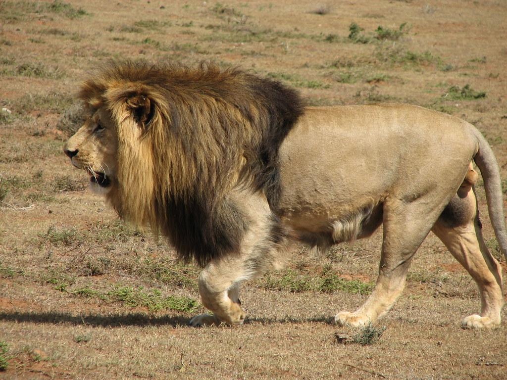 lion walking megin reynders flickr