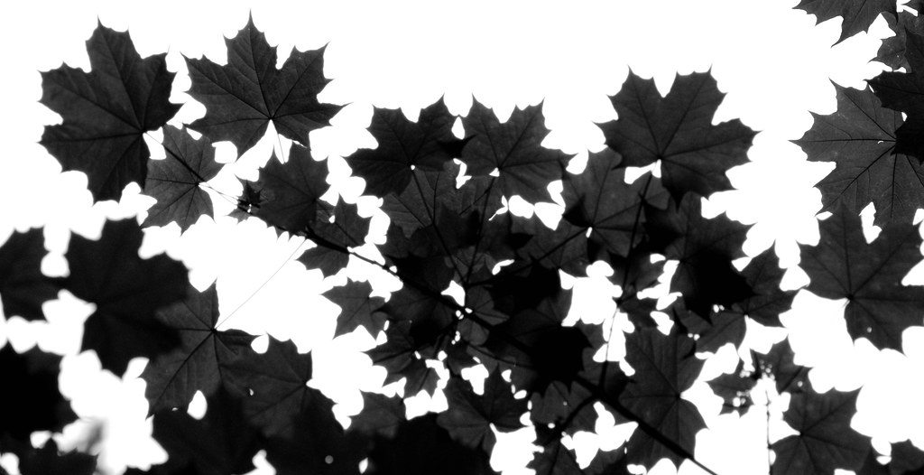 Seductive Maple Leaves Silhouettes Black And White Kailzie Gardens  Flickr With Fair  Maple Leaves Silhouettes Black And White Kailzie Gardens Scottish  Borders  By Iainmac With Endearing Edinburgh Princes Street Gardens Also V Garden Lights In Addition Garden Castle Playhouse And Garden Rotavators For Hire As Well As Cottage Garden Plants List Additionally Gardening Pictures Design Small Gardens From Flickrcom With   Fair Maple Leaves Silhouettes Black And White Kailzie Gardens  Flickr With Endearing  Maple Leaves Silhouettes Black And White Kailzie Gardens Scottish  Borders  By Iainmac And Seductive Edinburgh Princes Street Gardens Also V Garden Lights In Addition Garden Castle Playhouse From Flickrcom