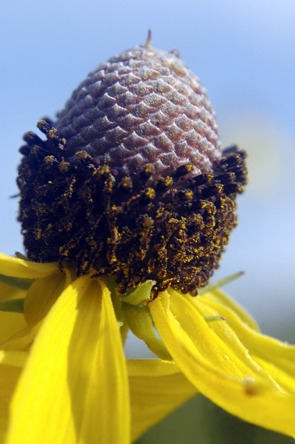 Ratibida pinnata YELLOW CONEFLOWER