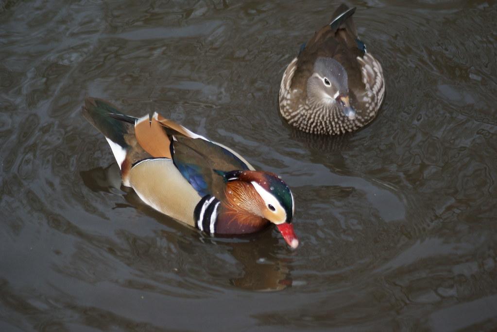 Mandarin Ducks Male And Female Martin Mere January 2009