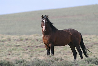 nevada mustang | by calljohn1