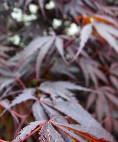 My Japanese Maple | by wowpictures