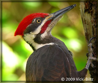 Pileated Woodpecker Male | by Vicki Biltz