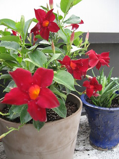 Red Mandevilla and some small Aloe | by Athena's Armoury