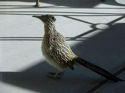 Greater Roadrunner | by Laura Erickson