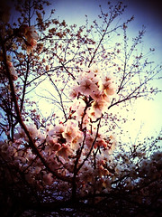 09 Cherry blossoms 1 | by teklab_jp