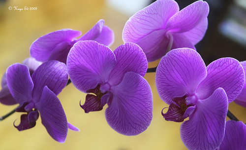 Orchids | by Kuya Ed