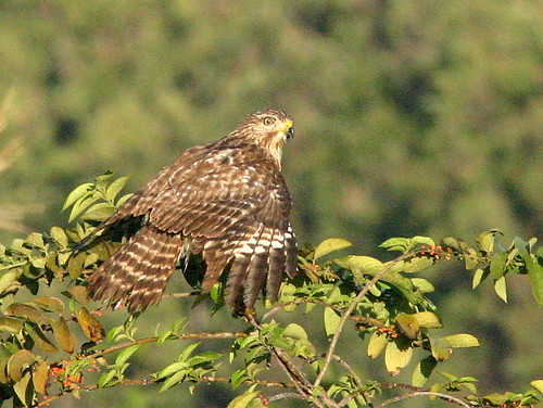 Red-shouldered Hawk Juvenile 20090111
