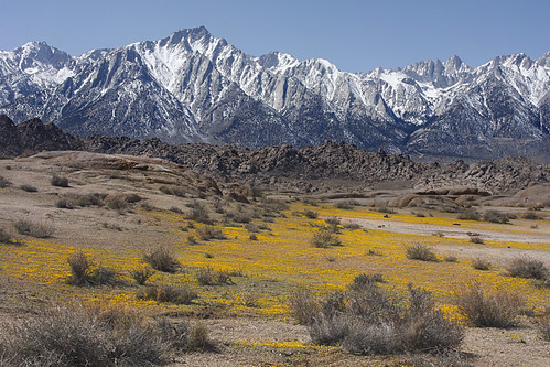 Spring Flowers at the base of Mount Whitney, and Lone Pine Peak | by Alan Vernon.