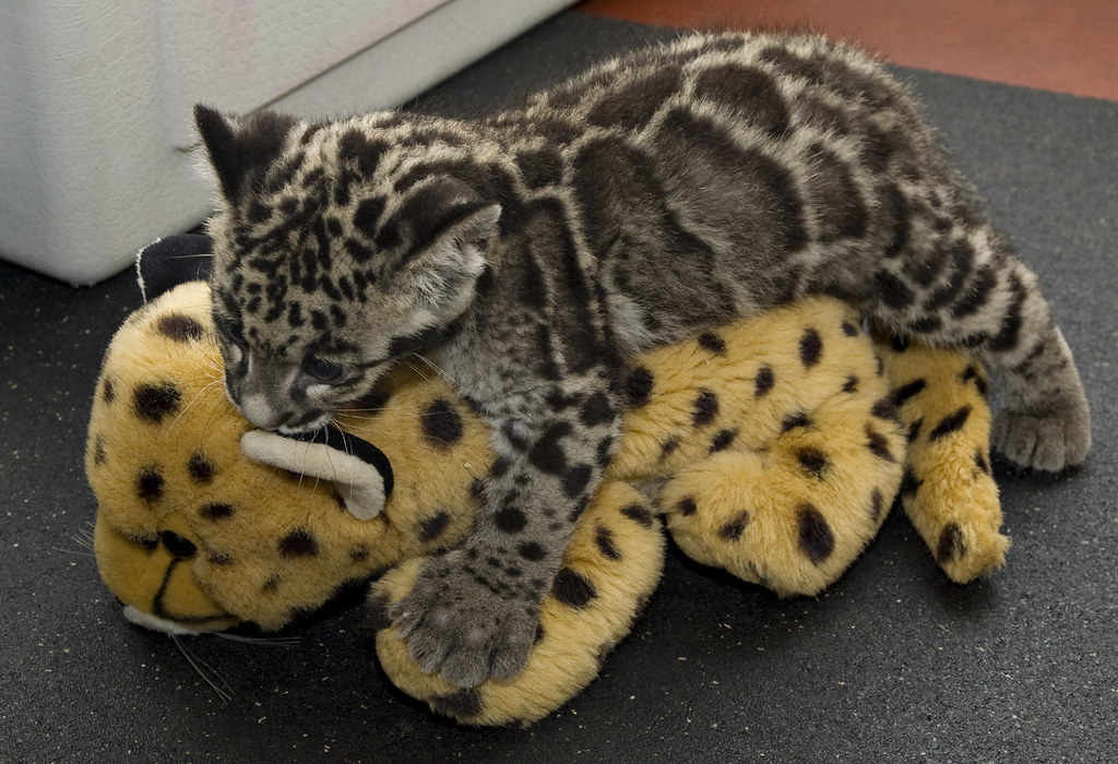 clouded leopard cubs are 12 weeks old a 12 week old cloud flickr