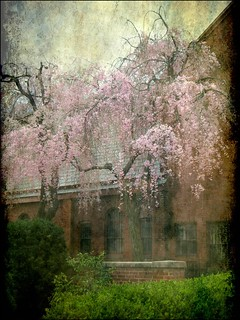 Cherry Trees Weeping in the Churchyard | by Kurlylox1