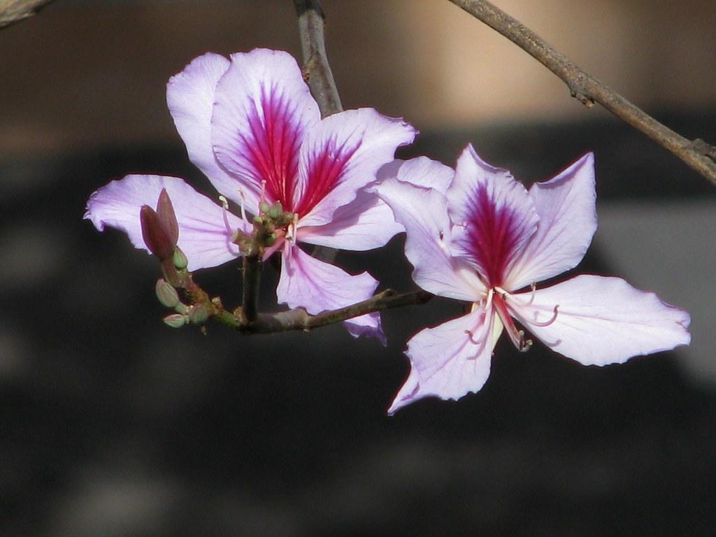 purple orchid tree tenerife las galletas ten bel garden u2026 flickr