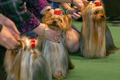 Dog Show Yorkie Yorkshire Terriers Joanjoycep Flickr