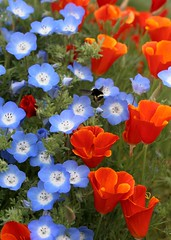 "Nemophila ""Baby Blue Eyes"" & Cal Poppy 'Red Chief' 