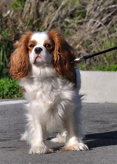 Cavalier King Charles Spaniel at the  Palo Alto Baylands | by donjd2