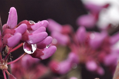 Eastern Redbud with Raindrop Refractions | by victoriaporter *