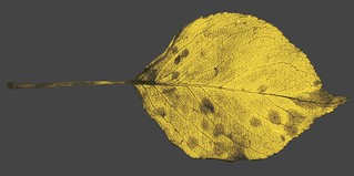 vein structure, Bradford pear leaf, color removed | by Martin LaBar (going on hiatus)