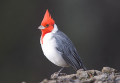 Red-crested Cardinal (Paroaria coronata) | by *Ryan Shaw