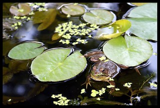 Among the Lilypads | by EJMphoto