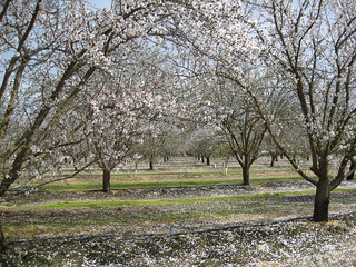 Almond orchard | by bbcworldservice