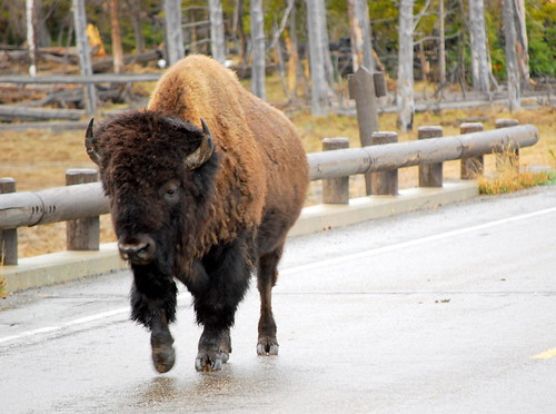 Bison walking down the street | by tamalee