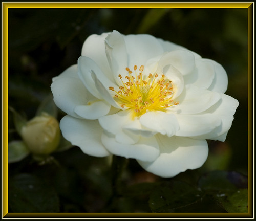 White Suffolk Rose | by davolly59 catching up soon, busy busy