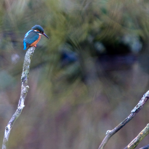 Kingfisher. Thoughtful on a Cold Winters Morning. | by Thackras/Simon Thackray