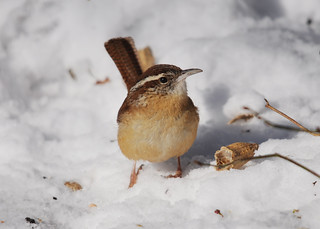 Carolina Wren Standing in Snow | by Brian E Kushner