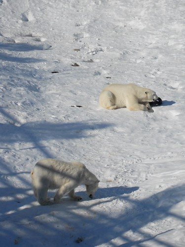 Polar bears at Ranua Zoo | by flowbadger