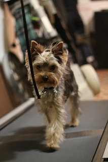 Darwin - Yorkie on a Treadmill | by gbus22