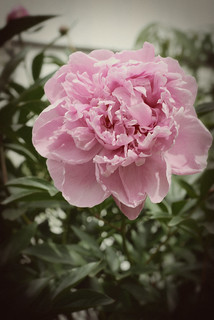 vintagy peony | by I Should Be Folding Laundry