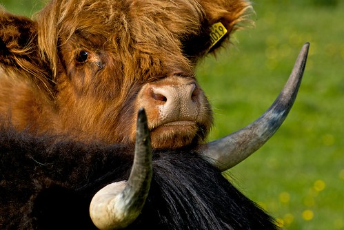 highland coos | by J.photography1
